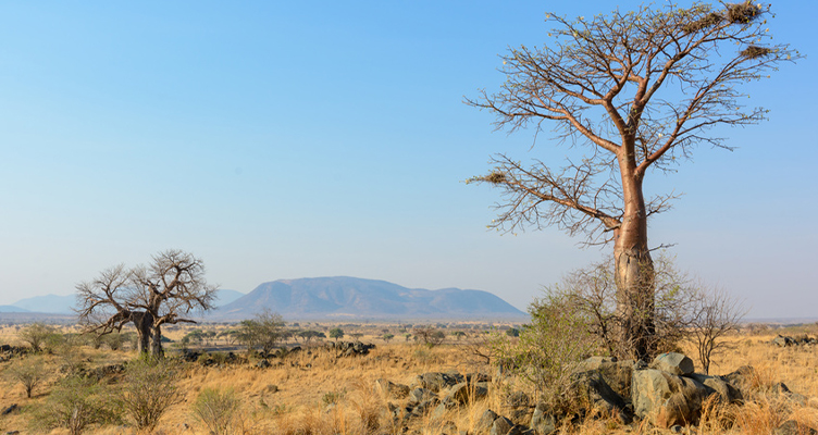 Afrikanischer Baobab Baum mit Baobab Frucht