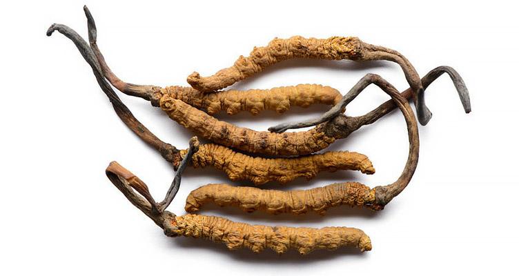 Cordyceps sinensis chinesischer Raupenpilz