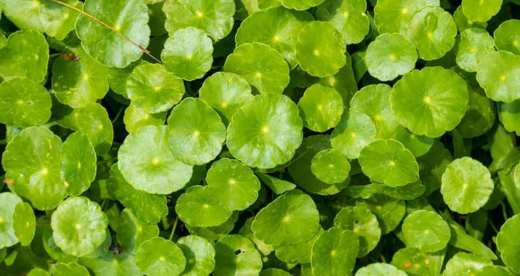 Gotu Kola Blätter Gedächtnispflanze