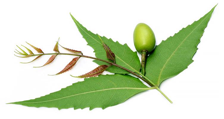Neem Blätter bekannt im Ayurveda